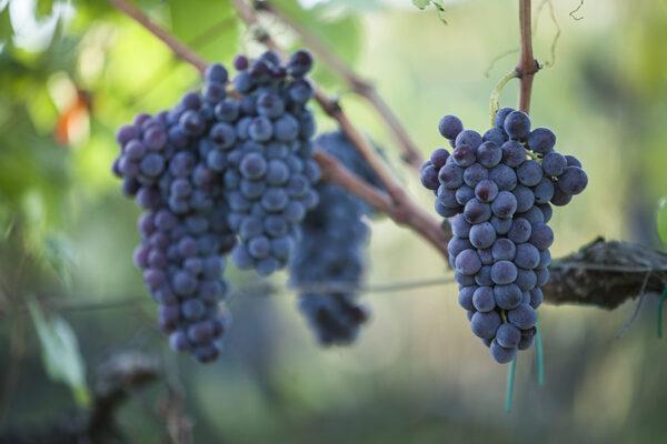 grappoli-d-uva